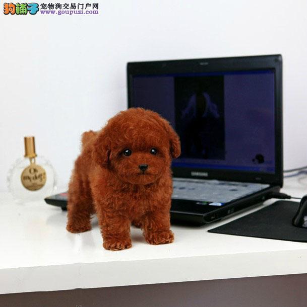 国际注册犬舍 名犬俱乐部 出售极品泰迪熊宝宝