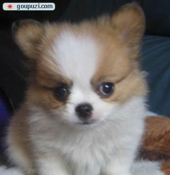 出售纯种健康的济南蝴蝶犬幼犬签订终身协议