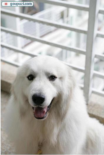 南昌雪兽系大白熊幼犬 骨骼大 毛质好 三针齐