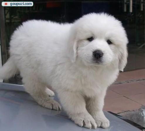 大白熊幼犬出售 公母均有 健康纯种 已驱虫疫苗签协议