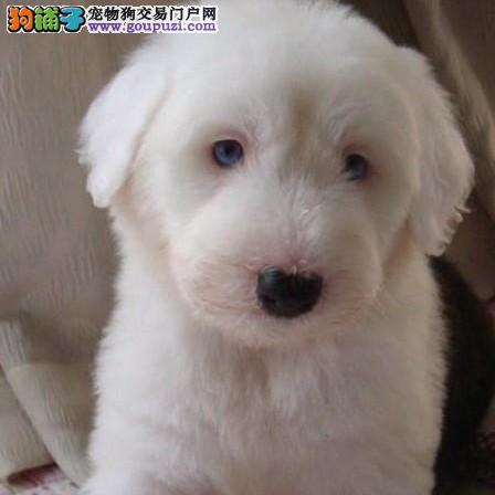 北京出售英国古代牧羊犬幼犬 双血统白头黑背古牧繁育