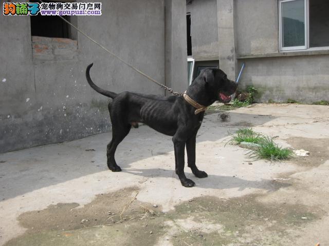 卡斯罗猛犬价格 2到四个月卡斯罗价格