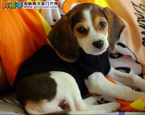 贵阳热卖比格犬多只挑选视频看狗喜欢的别错过