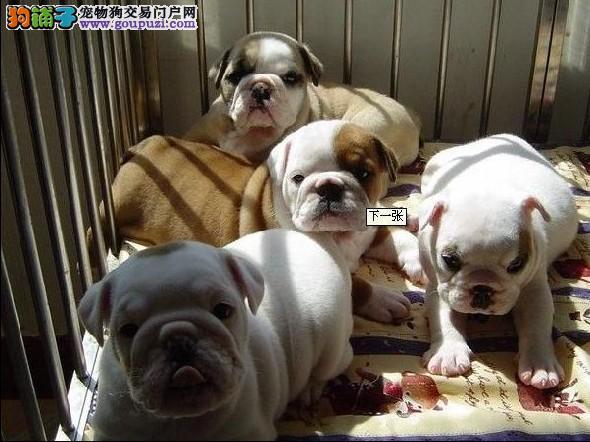 南京繁育英国斗牛犬 健康纯种英斗直销价格美丽