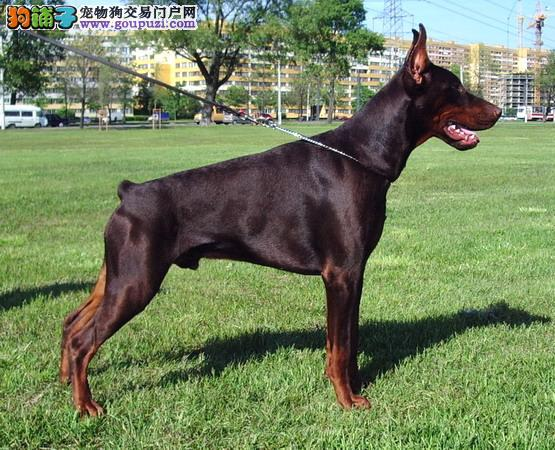 专业繁殖红色杜宾幼犬图片
