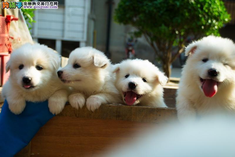 上海黄浦区狗场直销萨摩耶犬 微笑天使 可签协议
