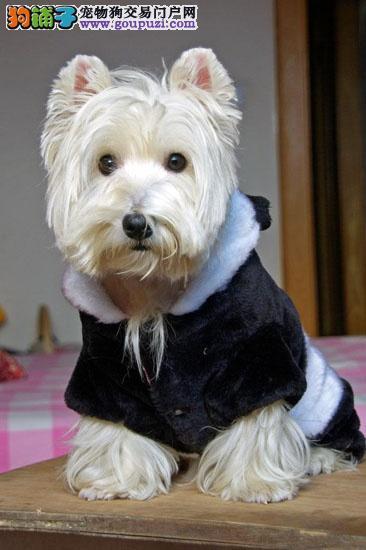 合肥西高地白梗幼犬出售 活泼梗类犬疫苗驱虫已做