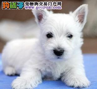 机灵可爱的小西高地出售 签订购犬协议可视频看狗