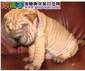 西安自家养殖纯种沙皮狗低价出售质量三包完美售后