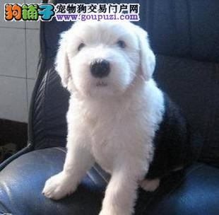 温州诚信交易古代牧羊犬超健康一辈子保障签合同送古牧
