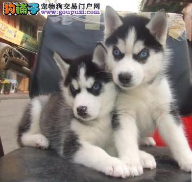 上海帅气三把火蓝眼睛哈士奇犬出售健康质保包养活