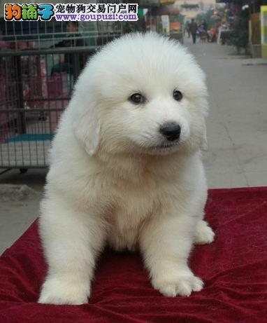 北京出售大白熊犬幼犬、比利牛斯山犬公母全