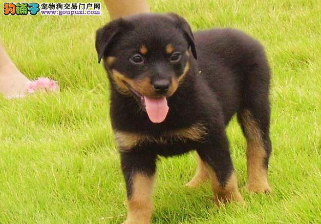 武汉出售罗威纳犬 纯种保健康 赛级后台售后三包