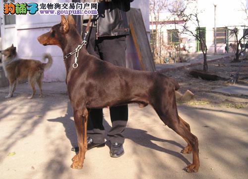 出售德系杜宾幼犬 种犬对外配种 剪完耳 带血统证书