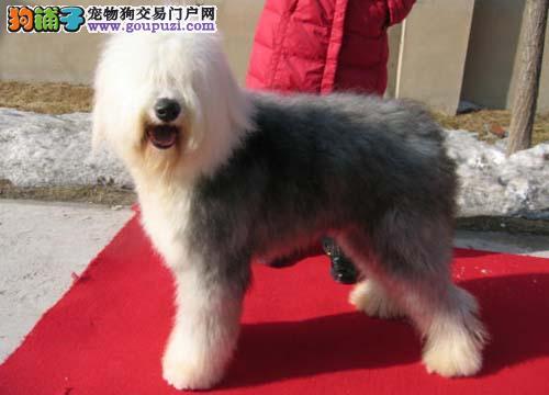 白头黑背古牧犬古代牧羊犬重庆基地繁殖健康血统包售后