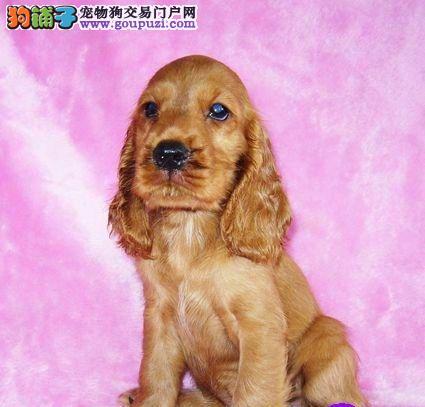 活泼可爱的可卡赛级品相纯种可卡幼犬出售保健康包纯种