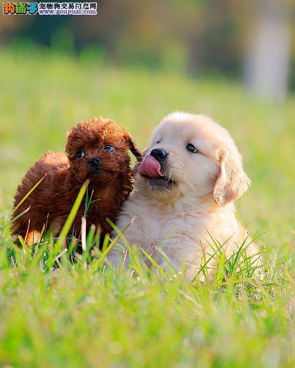 大毛量完美品相的南京金毛犬找新家 建议大家上门选购