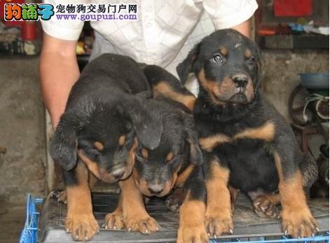极品罗威纳等各种名犬欢迎上门选购