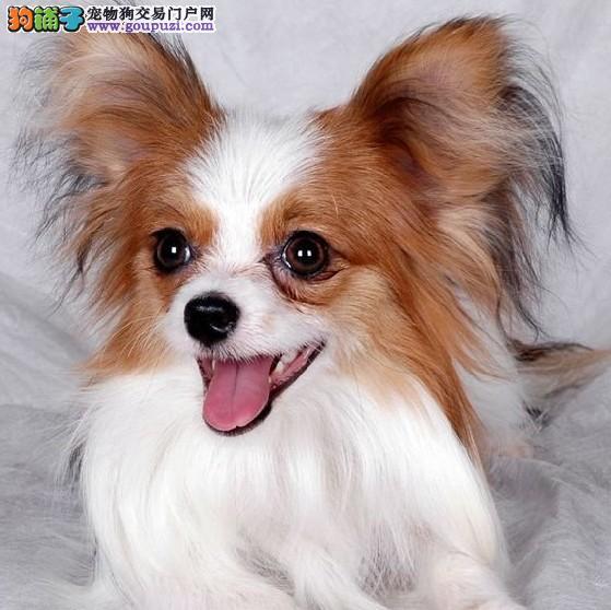 聪明可爱蝴蝶犬 三月大疫苗三次 郑州自家繁殖