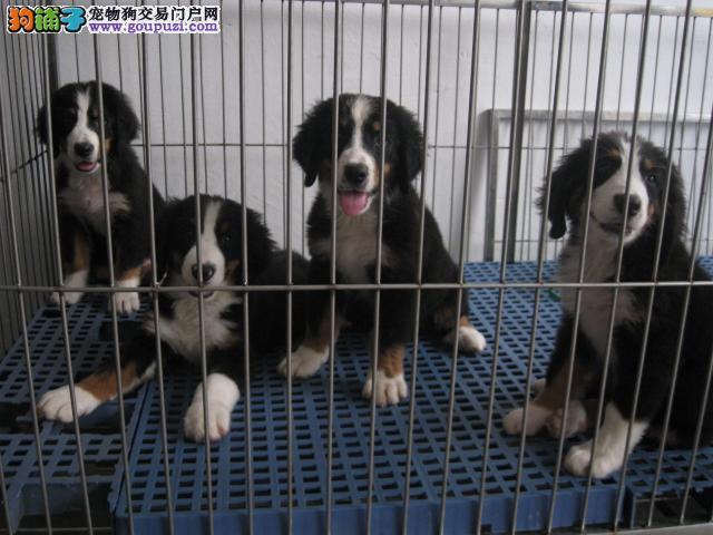 银川出售纯种伯恩山幼犬 健康保证 信誉保证 诚信保证