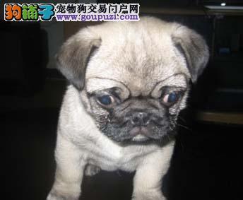 杭州纯种巴哥犬幼犬转让 签协议保健康 赛级巴哥犬