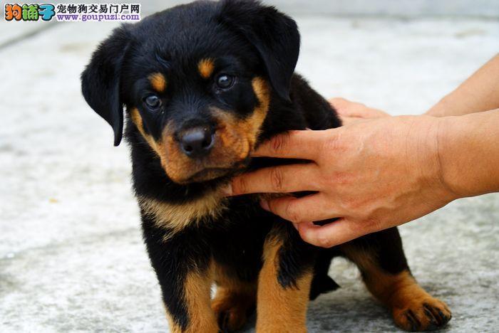 犬场直销纯种德系罗威纳幼犬包品质及健康