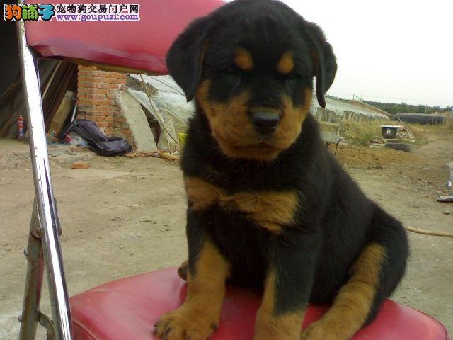 工作犬防暴犬大型护卫犬贵阳繁殖基地售品质罗威纳幼犬