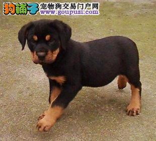 杭州哪里出售罗威那杭州哪里有卖罗威那犬