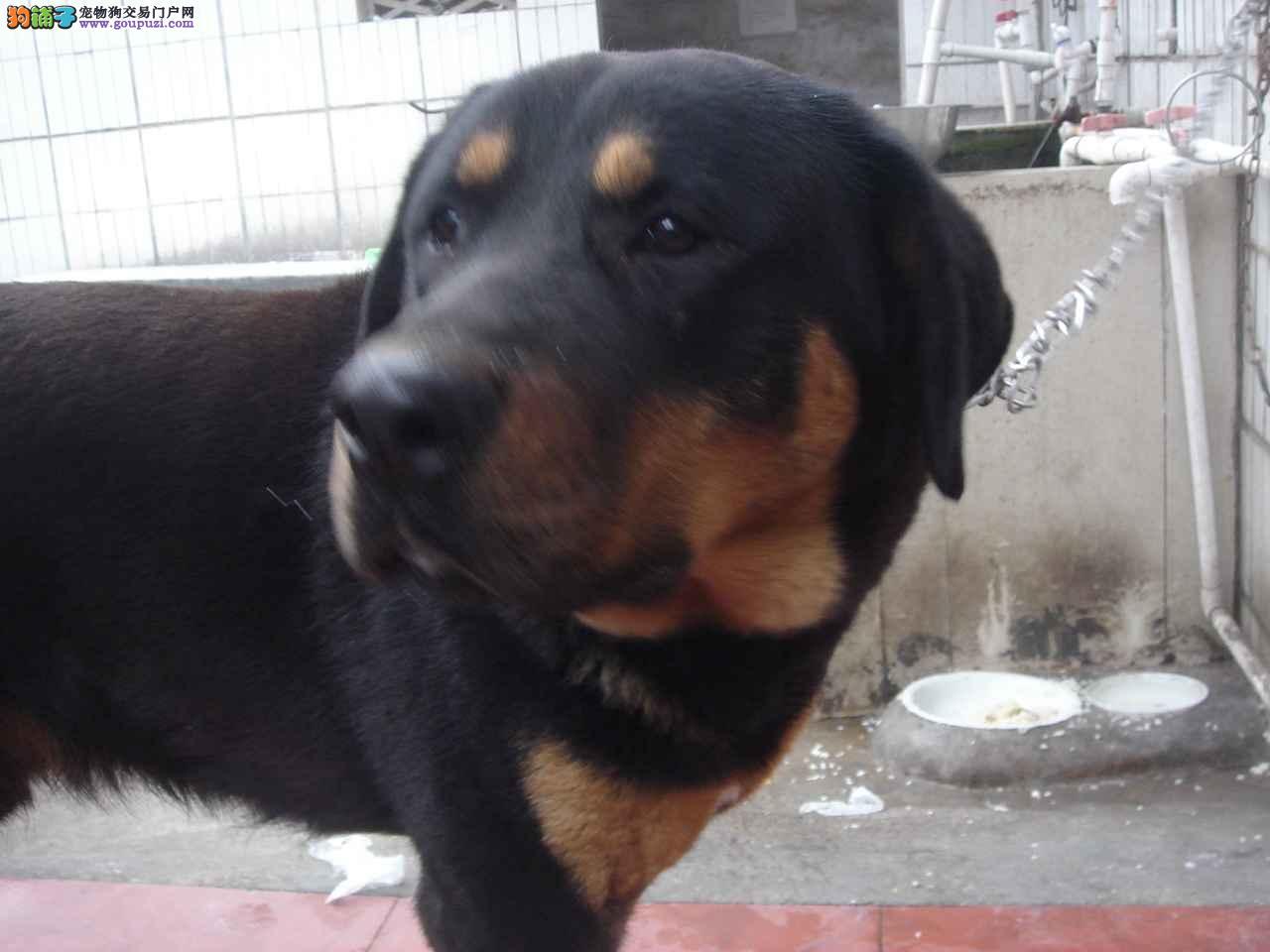 北京售罗威纳幼犬 洛威拿 保纯保健康 可签协议