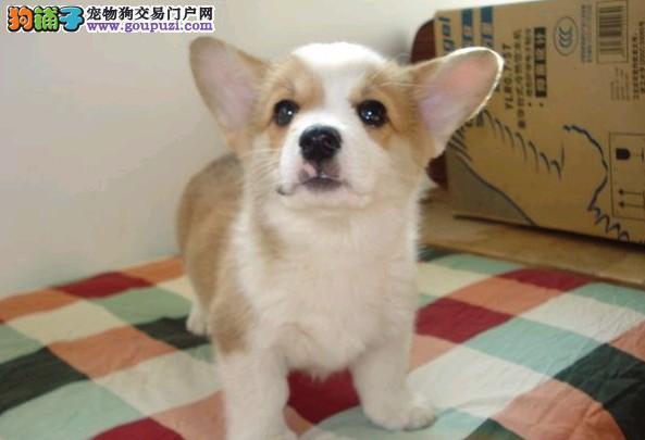 签协议保健康最起码的保障 纯种柯基幼犬出售繁殖精品图片