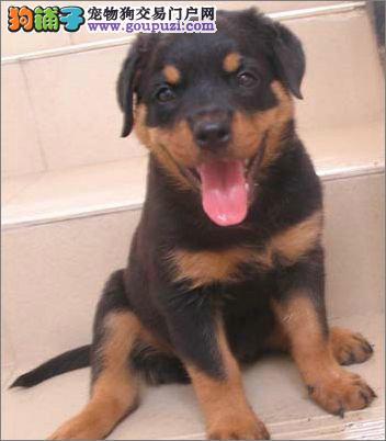 成都罗威纳宠物狗买卖 纯种健康罗威纳犬价钱图片