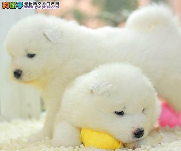 转让澳系赛级血统的贵阳萨摩耶幼犬 多只幼犬供选择