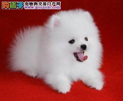 西安家养的哈多利血系博美犬热销中 保证品质和售后