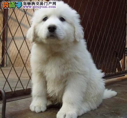 青岛市出售大白熊 公母都有 终身服务 质量三包 、