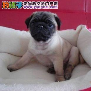 海口市出售巴哥犬幼犬 公母都有 可视频看狗 质保三年