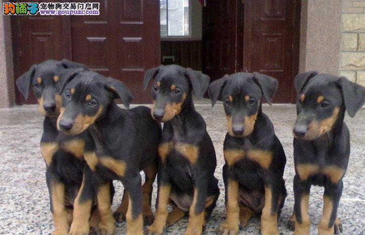 武汉出售纯种宠物狗杜宾犬一窝转让公母都有