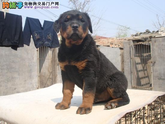 福州出售精品护卫犬罗威纳 三年包治疗 售后无忧