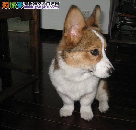 广州售纯种柯基犬 威尔士柯基犬