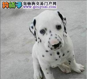 西安市出售斑点狗幼犬 公母都有 可视频看狗 终身质保