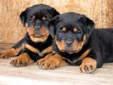 长沙哪里有罗威那犬出售 纯种罗威那多少钱一只