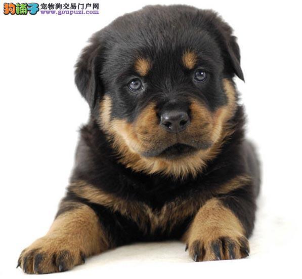 极品纯正的南平罗威纳幼犬热销中喜欢它的快来