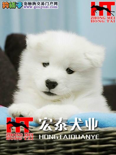 精品萨摩耶幼犬/实物拍摄/纯种健康质保三年可签协议