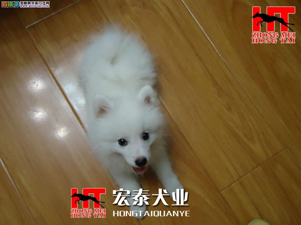 聪明稳重,感觉敏锐的狗狗 银狐