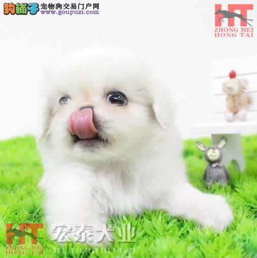 繁育高品质北京京巴犬/纯种京巴犬/北京犬/京巴犬