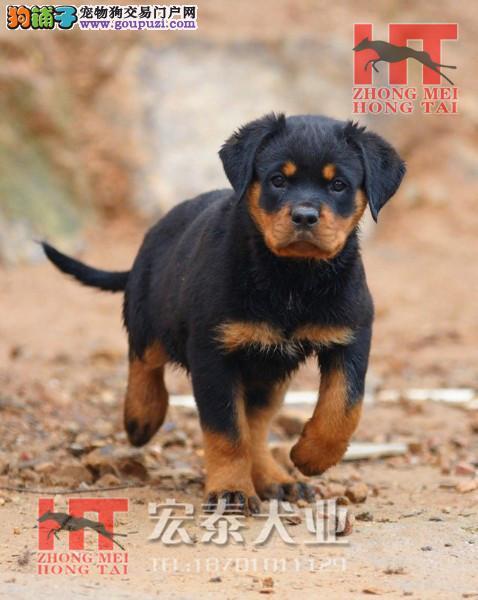 德系大头罗威纳犬,精品幼犬待售/专业罗威纳