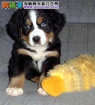 赛级品相厦门伯恩山幼犬低价出售保证品质完美售后