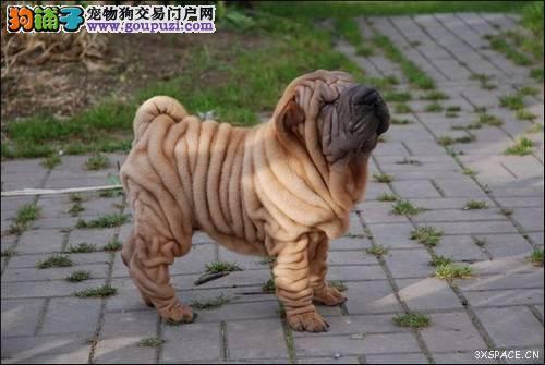 高品质沙皮狗幼犬出售 血统纯正 体型完美 包健康纯种