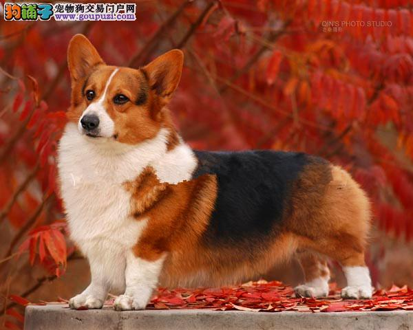 纯种柯基 三色两色柯基幼犬 纯血统正 上门优惠