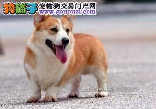 深圳大型犬场繁育柯基犬健康出售 价格美丽 长相好