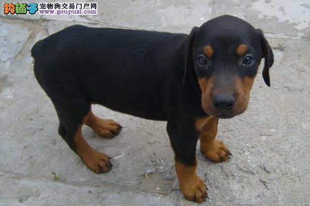 杭州出售杜宾犬幼犬 终身质保质量三包可签协议杜宾